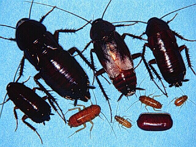 Осмелюсь предположить, что у меня проживают черные тараканы.